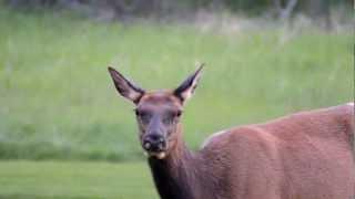 Female Elk on Banff Springs Golf Course - July 1