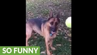 Dog can't catch tennis ball to save her life