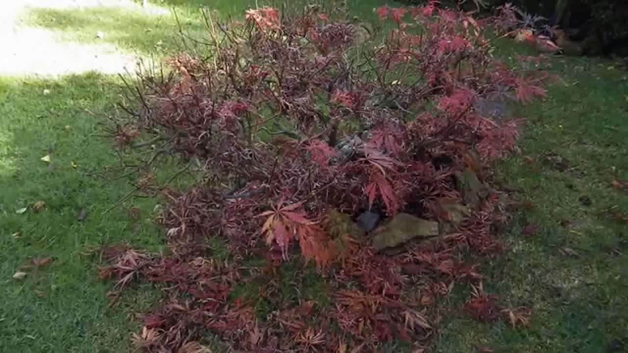 Arces japoneses y arboles de hoja caduca tratamiento de for Arboles de hoja caduca