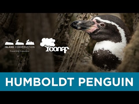 Island Conservation - Chilean Wildlife, Humboldt Penguin
