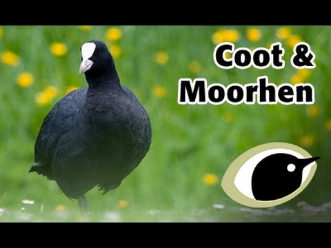 bto bird id coot moorhen youtube