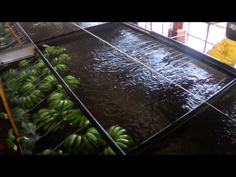 The Banana Packing Plant