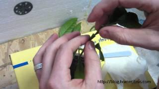 Прививка цитрусовых в расщеп(Мой блог: http://blog.homecitrus.com Ссылка на описание на блоге: http://blog.homecitrus.com/2013/02/vaccination-in-split.html Укоренение срезанных..., 2013-02-17T17:11:36.000Z)