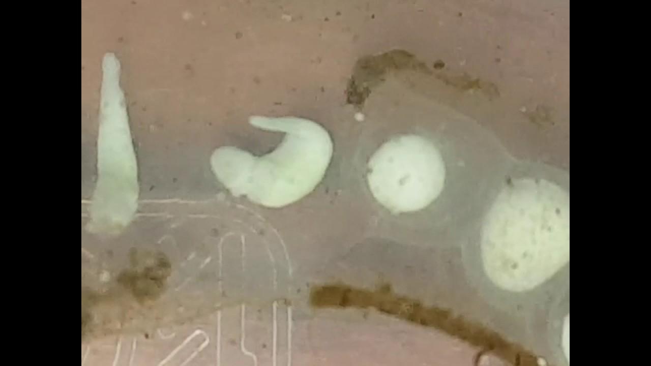 Oeuf axolotl albinos