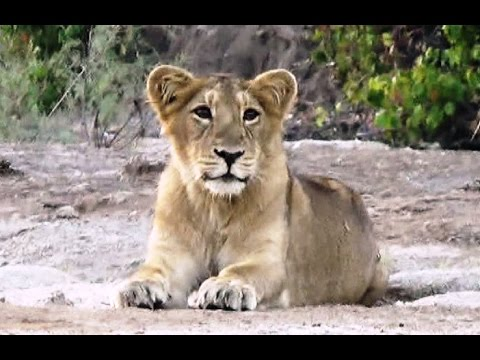 Shetrunji river bank forest new population of Asiatic lions. A second home for Gir's free-ranging