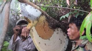 Сбор меда от диких лесных гигантских пчел в Камбодже! Сollecting honey from wild bees in Cambodia