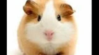 hamster vs guinea pig 0001