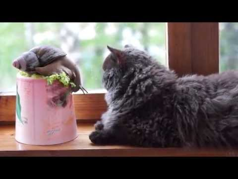 Моей улиточке ахатине 5 лет - Archachatina marginata and Selkirk Rex Cat