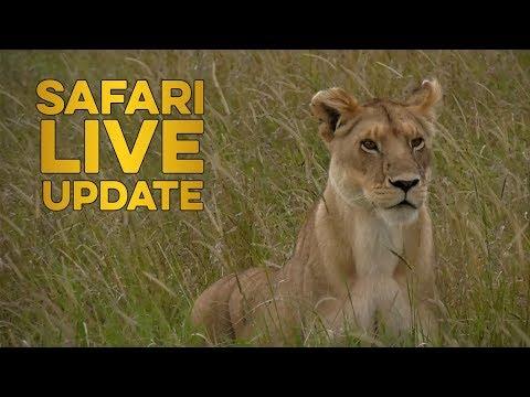 Lone Lioness Hunts Giraffe!