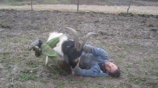 Goat vs Man fight