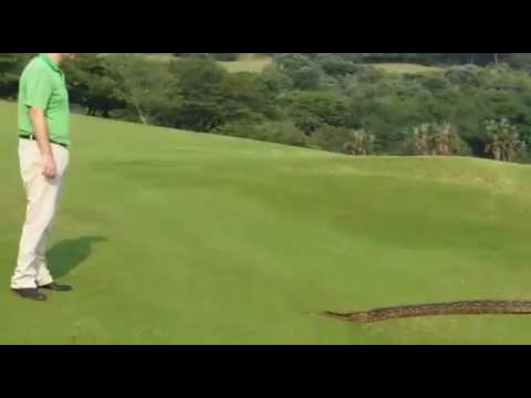 Large Snake Slithers Onto Zimbali Golf Course