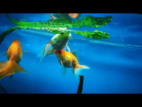 Подмена воды в аквариуме - зачем она нужна?