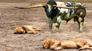 видео: Буйвол в деле! Лев против Буйвола. Кто сильней?