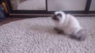 Гималайская кошка Дымка