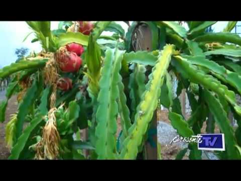 Fruta dragon cultivo