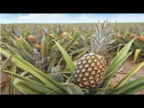 Curso Produção de Abacaxi - Tratos Culturais - Irrigação