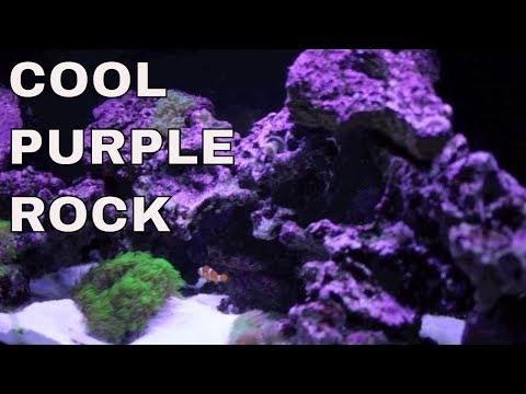 how to grow coralline algae in saltwater tank