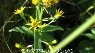 立山の花(H24.8月3日~5日:フルーツトマト撮影)(BGM 赤い風船 浅...
