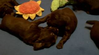 Our new Sussex litter is starting to have lots of fun playing in th...