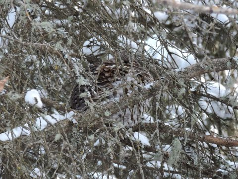 Observing Ruffed Grouse in Winter