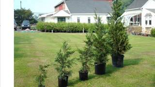 Potted Leyland Cypress Trees From Highland Hill Farm   Bucks County Pa    5-6Ft
