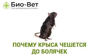 Почему Крыса Чешется До Болячек & Как Вылечить Крысу Которая Чешется. Ветклиника Био-Вет