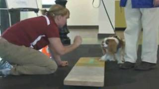 Roxie A Cavalier King Charles Spaniel At Pawsway's Petpark Taking An Agility Class