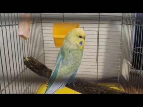 1-й день    Приручаю взрослого волнистого попугая    Челлендж