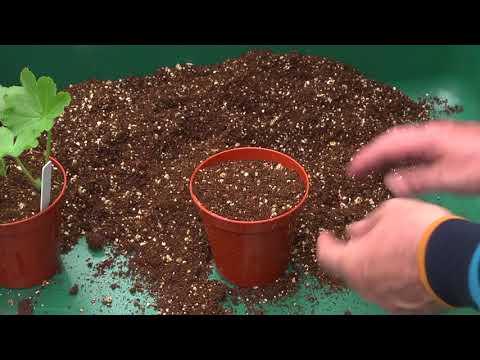 Propagating perennial bedding plants