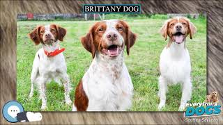 Brittany dog  Everything Dog Breeds