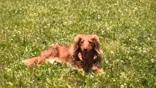 どこでも寝る犬で、特に暑い日向を好みます。 飼い主としては、心配にな...