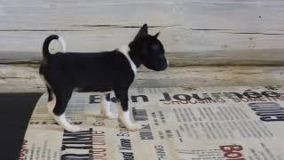 Африканская не лающая собака БАСЕНДЖИ