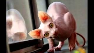Кошка сфинкс часть№2 Описание породы