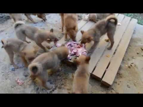 щенки карело-финской лайки 3 месяца