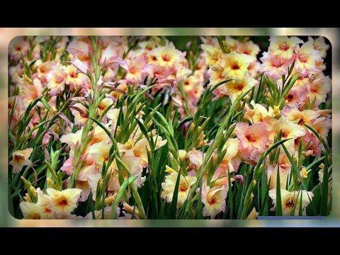 ГЛАДИОЛУСЫ / Посадка гладиолусов в грунт весной/ Gladiolus planting