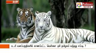 White Tiger is found in Nilgiris Forest - Shocks forest officials | Polimer News