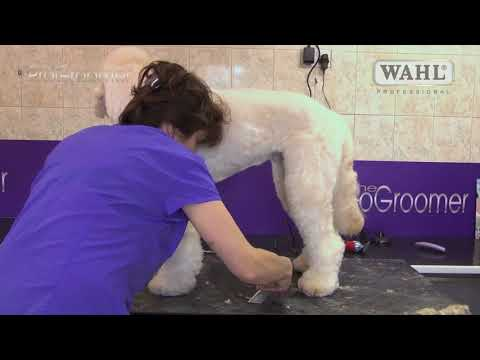Grooming Guide Labradoodle  Puppy | Best Dog Grooming Tips
