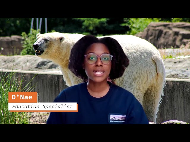 Detroit Zoo   International Polar Bear Day: Climate Concerns