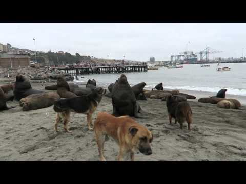 port of san antonio, chile - stray dogs keeping sea lions in check