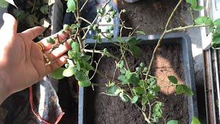 Trồng cây Việt quất đơn giản tại nha - dâu tây New trồng từ ngó 1,5 tháng ra hoa cực đẹp