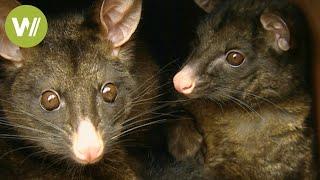 Tasmanien: ein einziges Naturparadies