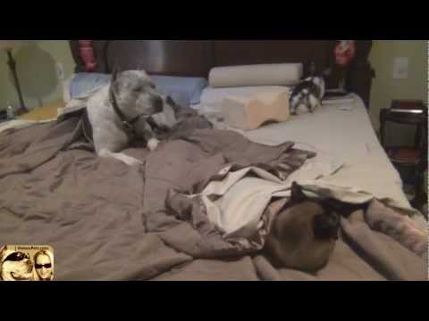 GOOD Morning! Sleeps with Rabbit, Cat and Dog Pit Bull Sharky