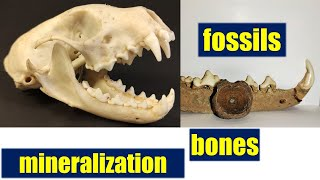 Learn about the mineralization / fossilization of bones modern vs. ice age