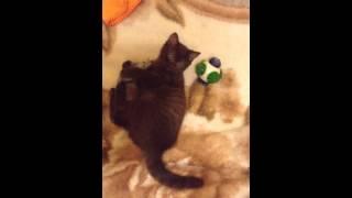 Британский шоколадный котенок в питомнике British House
