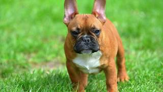 T-Luxe's Orange French Bulldog Pup Meets Family!