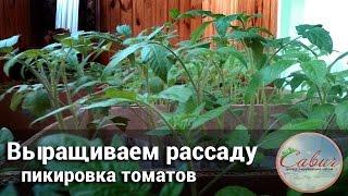 Пикировка томатов, выращивание рассады(Третья часть пособия по выращиванию томатов. Видео рассказывает о пикировании томатов., 2016-03-19T09:57:13.000Z)