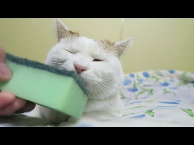 すぽんじとしろ Cat brushing 180619