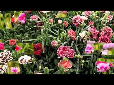 Carnation flower (HD1080p)