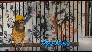 Download Masteran burung MANYAR AGAR Gacor dan NGEROL