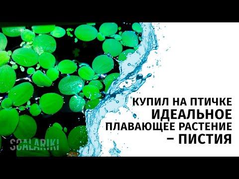 Пистия. Купил на птичке неприхотливое плавающее аквариумное растение